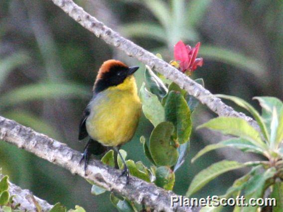 Yellow-breasted Brushfinch (Atlapetes latinuchus)
