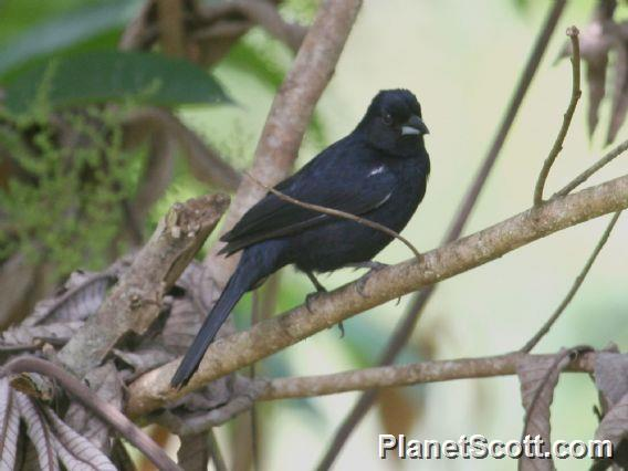 White-lined Tanager (Tachyphonus rufus)