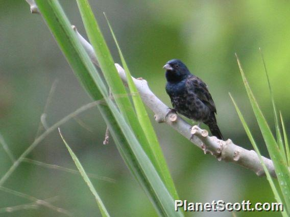 Blue-black Grassquit (Volatinia jacarina)