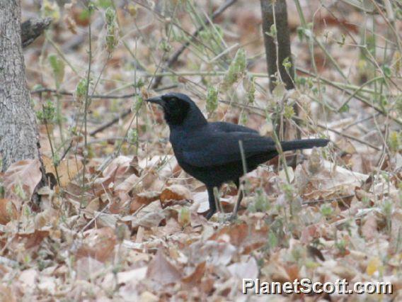 Scrub Blackbird (Dives warczewiczi)