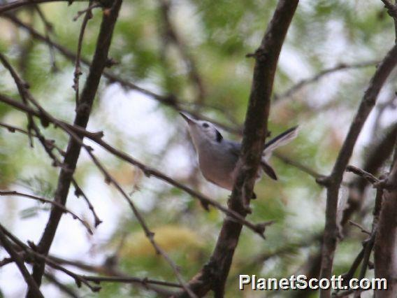 Tropical Gnatcatcher (Polioptila plumbea)