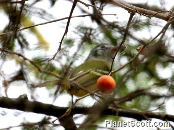 Yellow-olive Flycatcher (Tolmomyias sulphurescens)