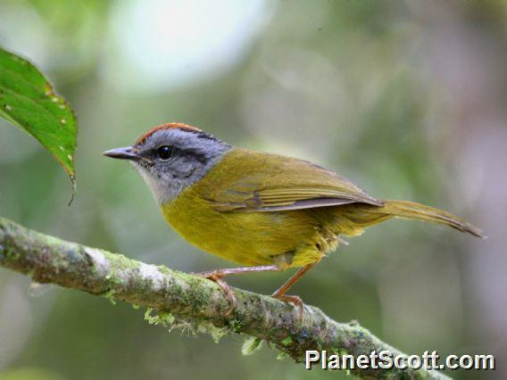 Russet-crowned Warbler (Myiothlypis coronatus)