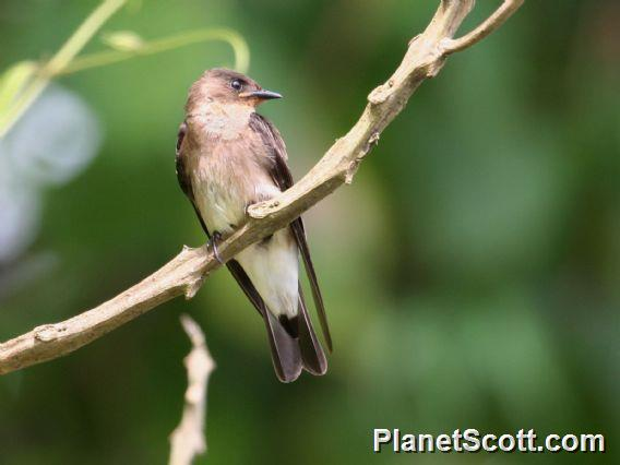 Southern Rough-winged Swallow (Stelgidopteryx ruficollis)