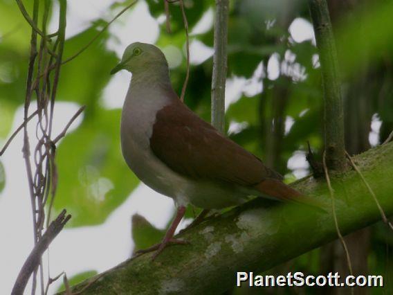 Pallid Dove (Leptotila pallida)