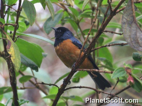 Blue-backed Conebill (Conirostrum sitticolor)