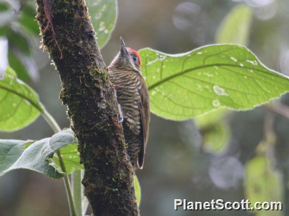 Bar-bellied Woodpecker (Dryobates nigriceps)