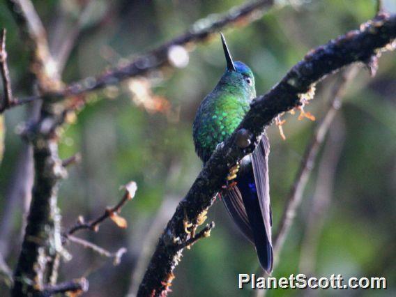Sapphire-vented Puffleg (Eriocnemis luciani)