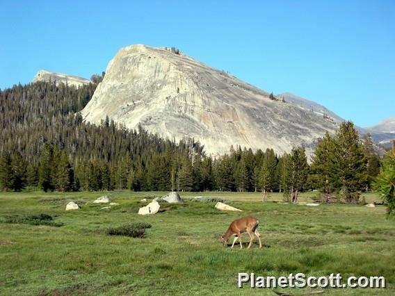 Mule Deer and Toulumne Meadows, Yosemite National Park