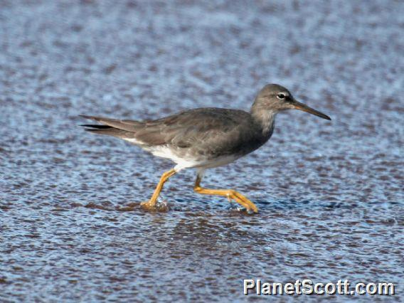 Wandering Tattler (Tringa incana)