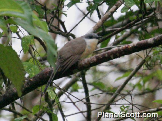 Dark-billed Cuckoo (Coccyzus melacoryphus)