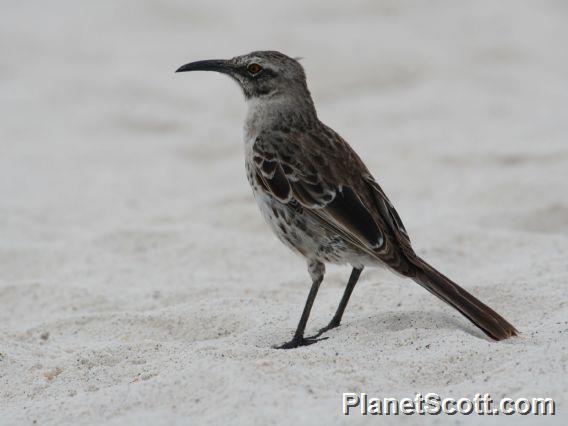 Espanola Mockingbird (Mimus macdonaldi)