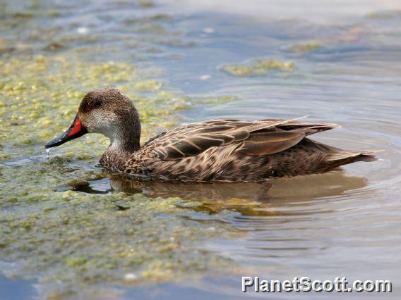 White-cheeked Pintail (Anas bahamensis)