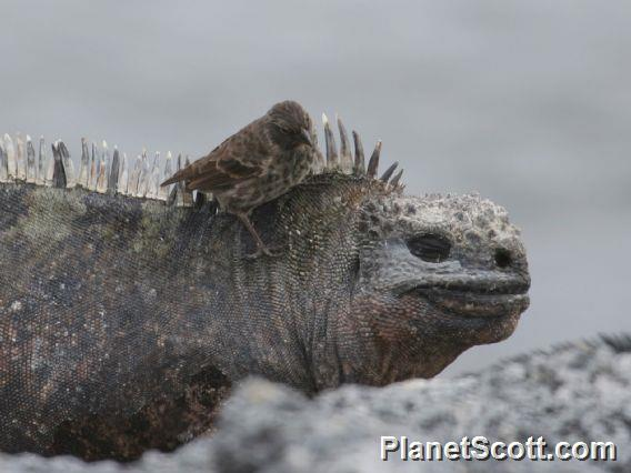 Galapagos Marine Iguana (Amblyrhynchus cristatus) with Small Ground Finch