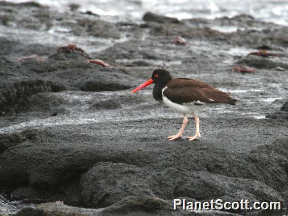 American Oystercatcher (Haematopus palliatus)