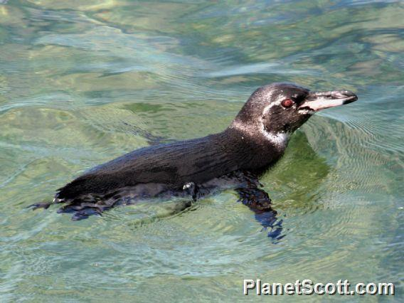 Galapagos Penguin (Spheniscus mendiculus)