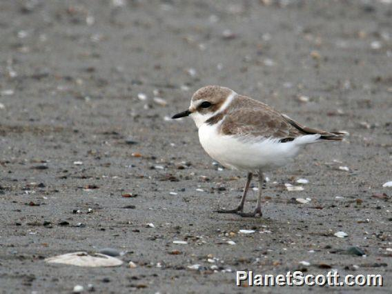 Snowy Plover (Charadrius nivosus)