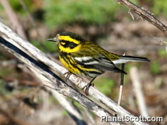 Townsend&#39;s Warbler (Setophaga townsendi)
