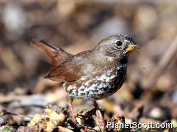 Fox Sparrow (Passerella iliaca)
