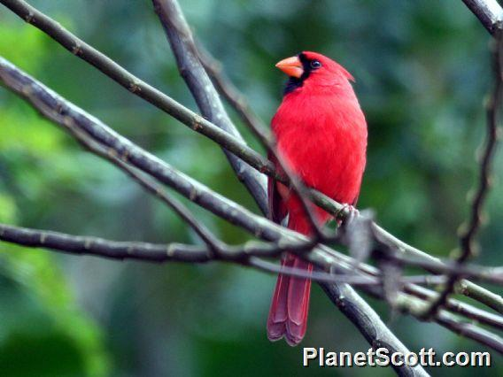 Northern Cardinal (Cardinalis cardinalis)