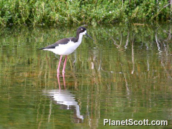 Black-necked Stilt (Himantopus mexicanus) Hawaii ssp