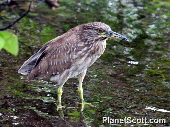 Black-crowned Night-Heron (Nycticorax nycticorax) Immature
