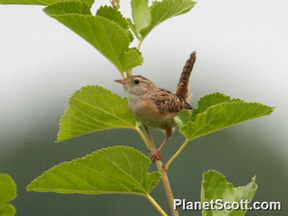 Sedge Wren (Cistothorus platensis)