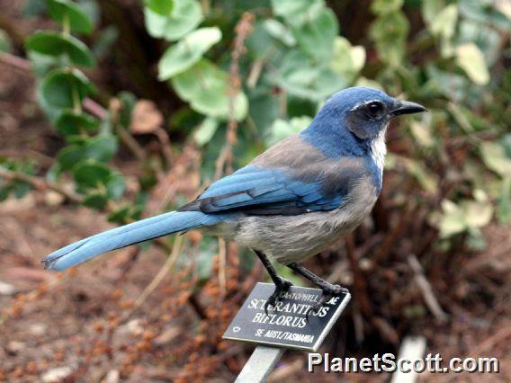 California Scrub Jay (Aphelocoma californica)