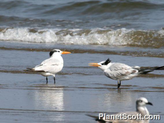 Royal Tern (Thalasseus maximus)