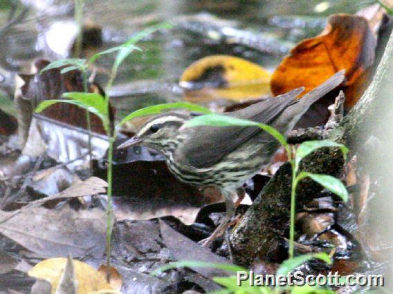 Northern Waterthrush (Parkesia noveboracensis)