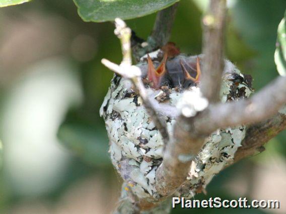 Green-breasted Mango (Anthracothorax prevostii)