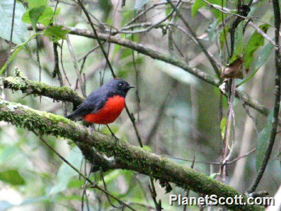 Slate-throated Redstart (Myioborus miniatus)