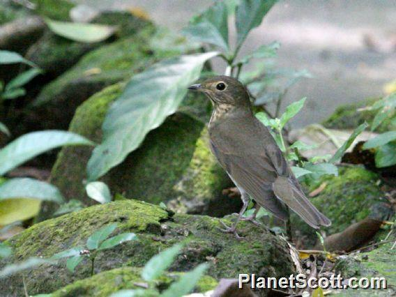 Swainson&#39;s Thrush (Catharus ustulatus)
