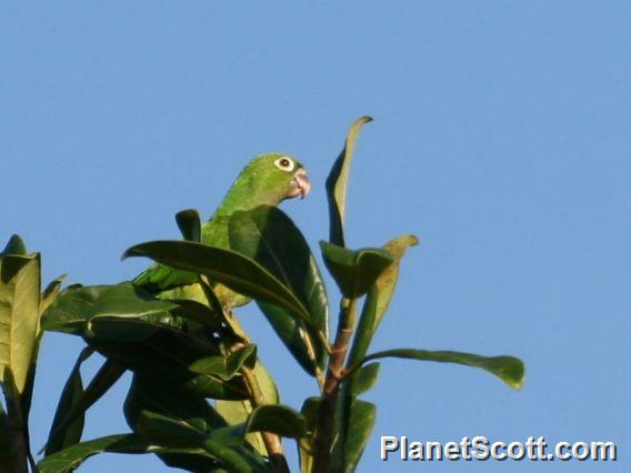Olive-throated Parakeet (Aratinga nana)