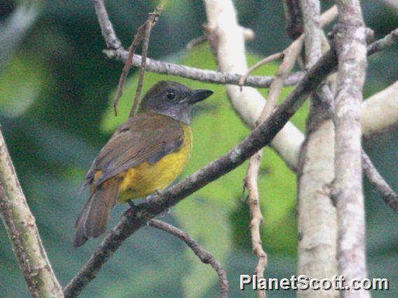 Black-throated Shrike-Tanager (Lanio aurantius)