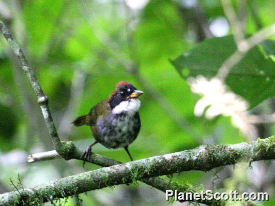 Chestnut-capped Brush-Finch (Atlapetes brunneinucha)