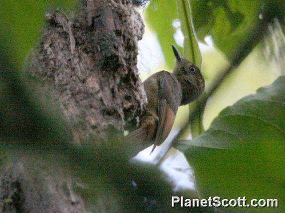 Tawny-winged Woodcreeper (Dendrocincla anabatina)