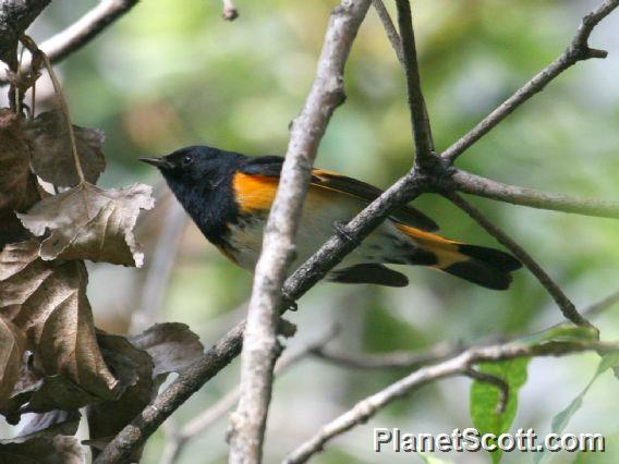 American Redstart (Setophaga ruticilla) Male