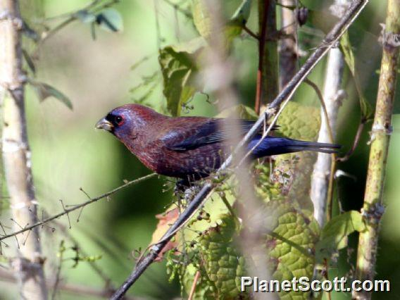 Varied Bunting (Passerina versicolor)