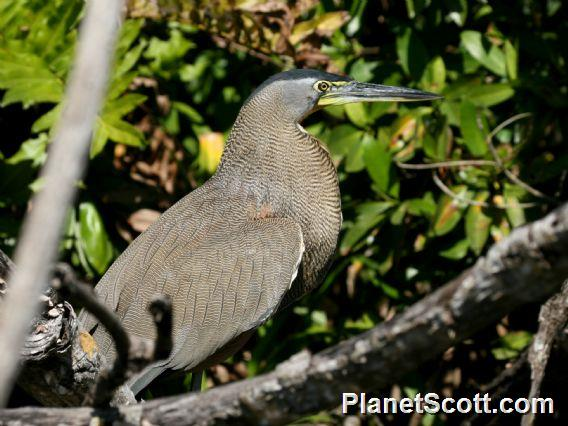 Bare-throated Tiger-Heron (Tigrisoma mexicanum)