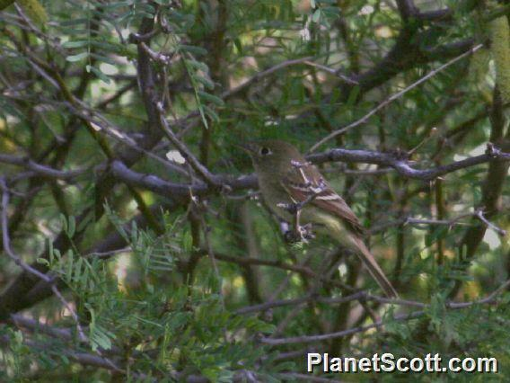 Dusky Flycatcher (Empidonax oberholseri)