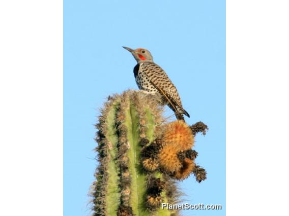Gilded Flicker (Colaptes chrysoides)