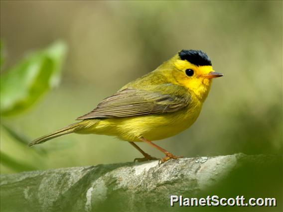 Wilson&#39;s Warbler (Cardellina pusilla)