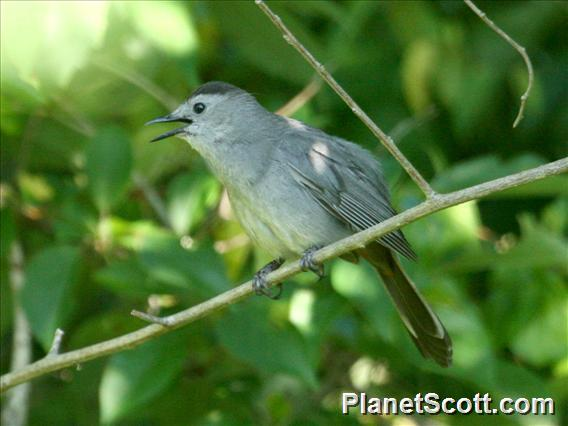 Gray Catbird (Dumetella carolinensis)