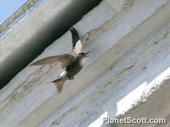 Pacific Swift (Apus pacificus)