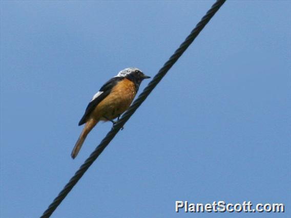 Daurian Redstart (Phoenicurus auroreus)