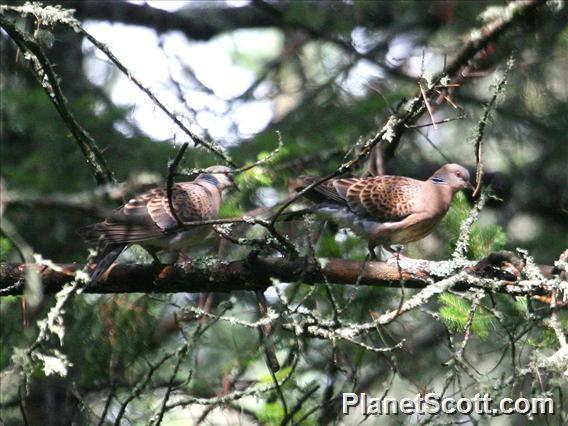 European Turtle-Dove (Streptopelia turtur)