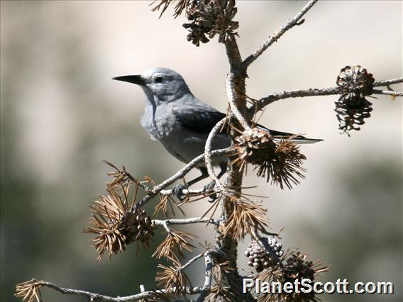 Clark&#39;s Nutcracker (Nucifraga columbiana)