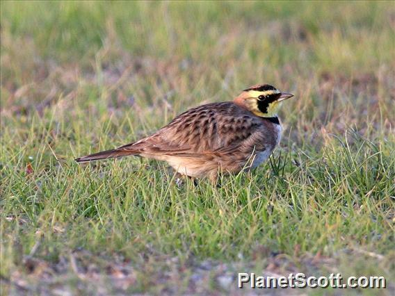 Horned Lark (Eremophila alpestris)