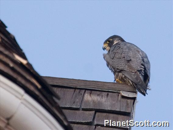 Peregrine Falcon (Falco peregrinus)